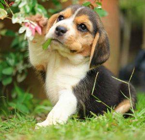 Beagle filhote